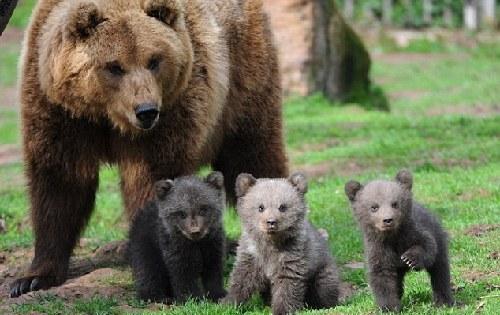 棕熊宝宝在妈妈的陪伴下首次与游客见面,如泰迪熊公仔一般的可爱模样