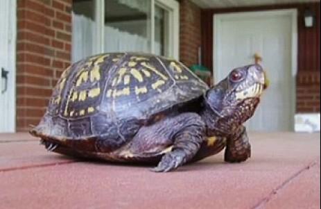 儿子在龟腹部刻字将其放生 47年后老爸意外重拾