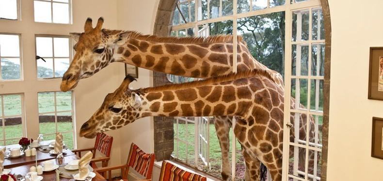 活泼的长颈鹿将头伸入房中找食物.