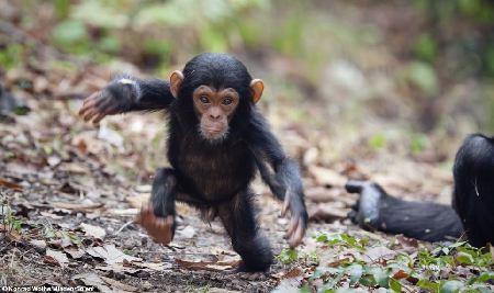博览  步履蹒跚,左摇右晃,一只可爱的黑猩猩宝宝离开母亲,开始学习