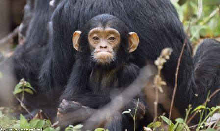 图:小黑猩猩挣脱母亲怀抱 蹒跚学步卖萌撒娇