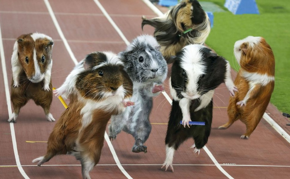 伦敦奥运会豚鼠也疯狂 田径跳水马术样样精