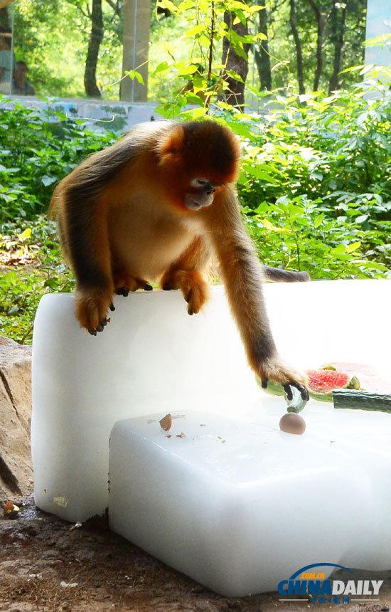 """7月23日,武汉动物园内,金丝猴""""兰兰""""在冰上吃水果度夏."""