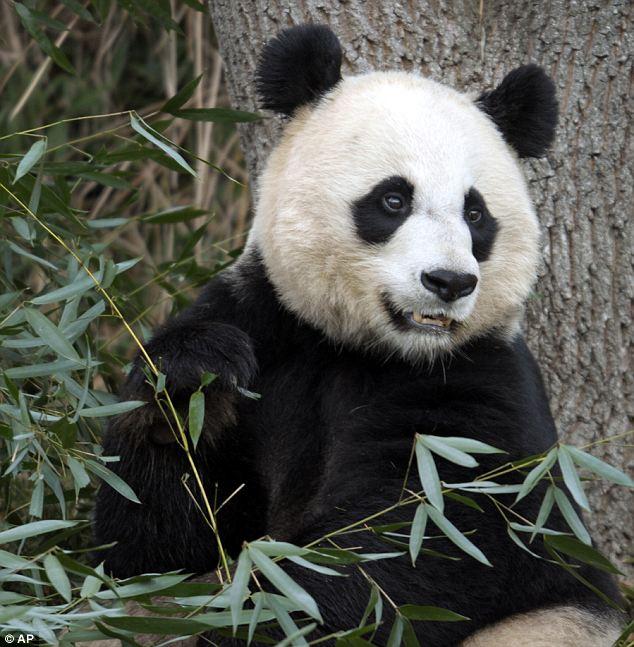 熊猫 母亲/经历丧女之痛的美香饮食、睡眠正在逐渐恢复。...