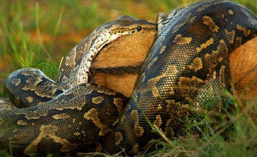 非洲蟒蛇活生生吞食羚羊 震惊场面令人心颤