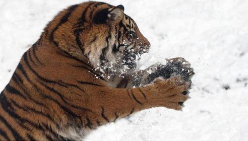 """爪子抓嘴巴咬 看威猛老虎抓雪球""""精彩表演"""""""