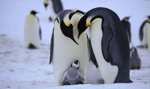 How Long Can Penguins Go Without Food