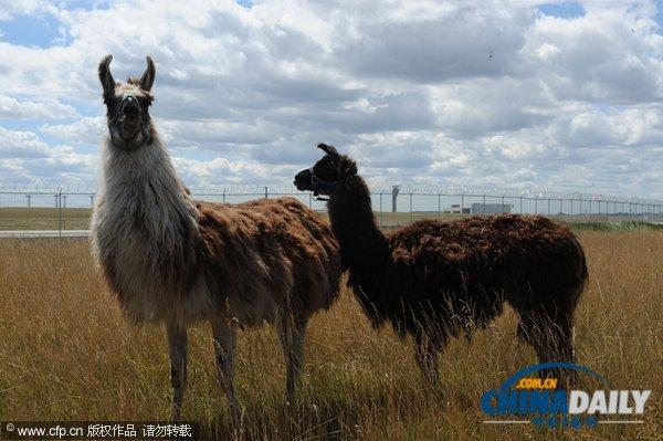 奥黑尔/美国芝加哥的奥黑尔国际机场共引进25只山羊、绵羊、驴和美洲驼...