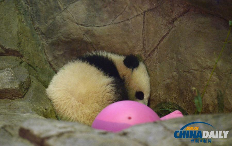 /enpproperty-->  1月18日,在美国华盛顿国家动物园,大熊猫幼仔宝宝在睡觉。 当日,中国旅美大熊猫美香的幼仔宝宝首次正式与公众见面,受到当地民众的热烈欢迎。美香经人工受孕后于2013年8月23日产仔。经过面向全球的网上投票命名活动,动物园宣布宝宝被选中为其大名。 新华社记者殷博古摄