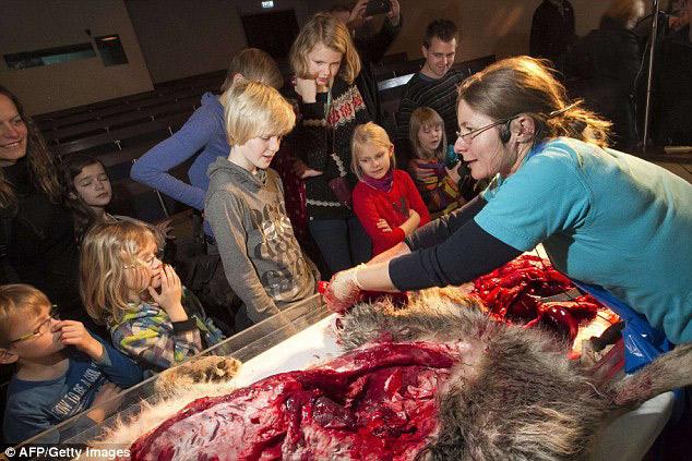 丹麦恐怖教学:小学生解剖观摩狼尸[5]小学武宁路果果树图片