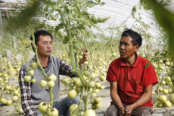 zhang xiaobo left teaches tomato planting skills to a villager daqiong china daily. Black Bedroom Furniture Sets. Home Design Ideas