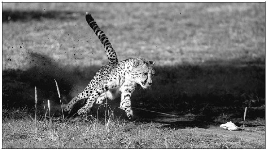 A Captive Cheetah Performs A Mock Run To Maintain Its