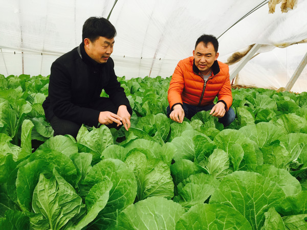 Professional Farmer An Liang Right Inspects His Cabbages