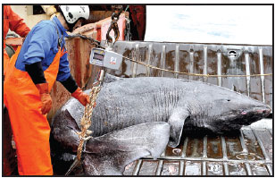 A Greenland Shark Captured Off Southwest Greenland Is