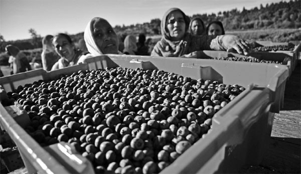 female workers wait for their containers of blueberries to ...