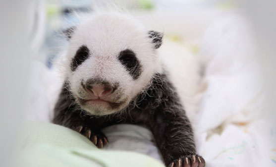 The First Panda Born In Shanghai Will Be Named By The