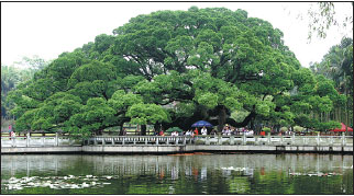 banyan tree value chain Significance of the banyan  medicinal value of banyan tree  the bark and leaf buds of the tree are useful in arresting secretion or bleeding.