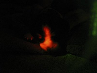 SKorean experts claim to have cloned glowing dogs