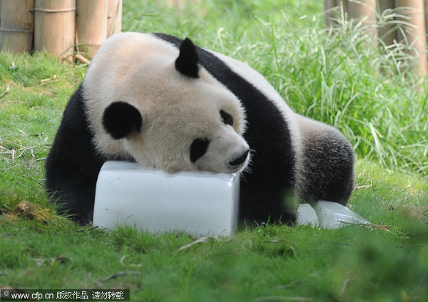 Pandas cool down with ice|Travel|chinadaily.com.cn