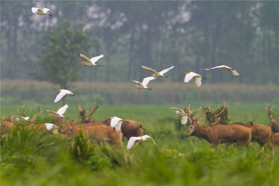 Ezhou China  city images : Milu deer thrive at nature reserve[4] Chinadaily.com.cn