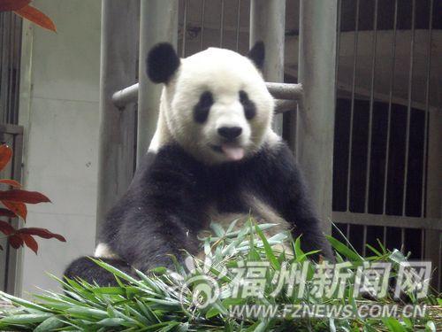 5只大熊猫避暑结束归来 6只小熊猫幼仔首次亮相