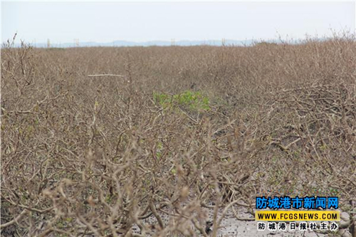 Fangchenggang China  city photos gallery : The withered mangrove forests in Fangchenggang, which were attacked by ...