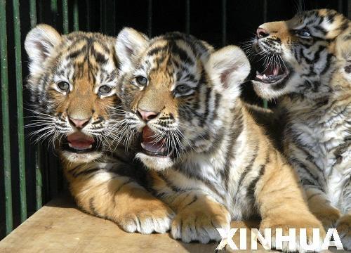 2月26日在山东省淄博市动物园拍摄的三只小老虎.(摄影 李秀春)