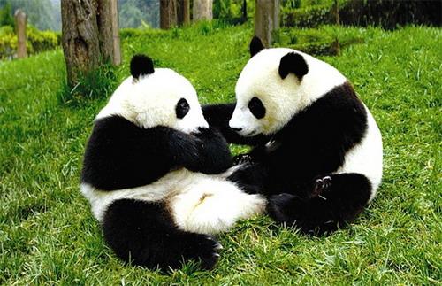 两只大熊猫登陆威海刘公岛