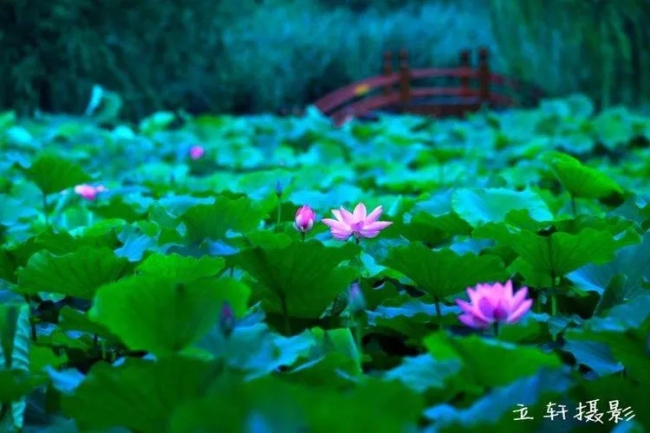 Blooming Lotus Flowers Add Color To Jinan2 Shandong Culture