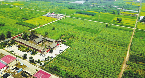 Sunflowers aid rural tourism development in Jinyuan district