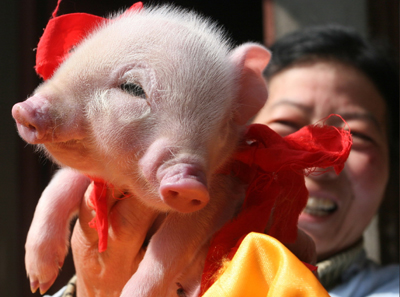 Another Pig with 2 Faces is Born picture