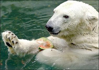Polar bear snacks