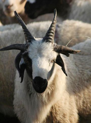 six-horned goat