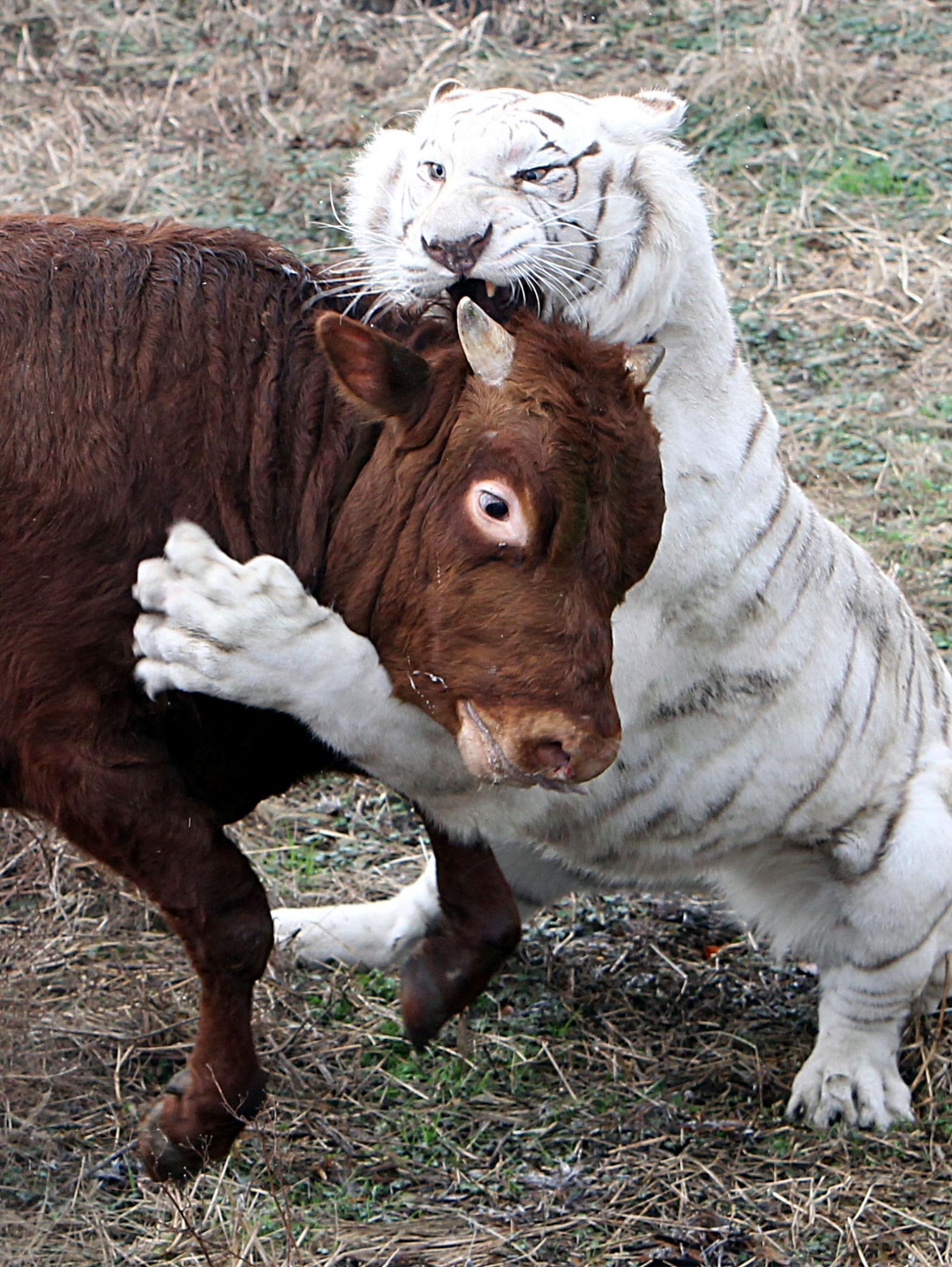 china tiger attack