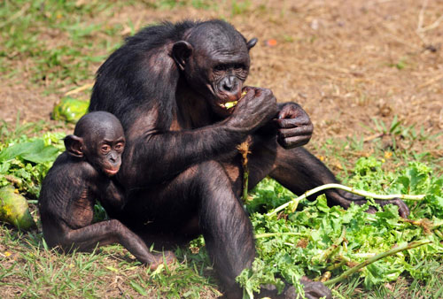 Wild chimpanzees find home in Congo shelter