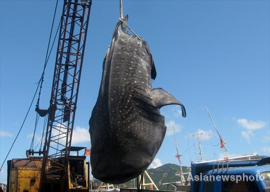 Whale shark strangled by fishing net