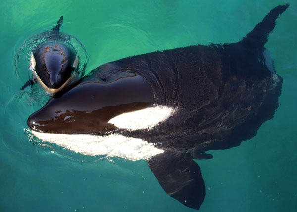 Killer whale swims with her calf