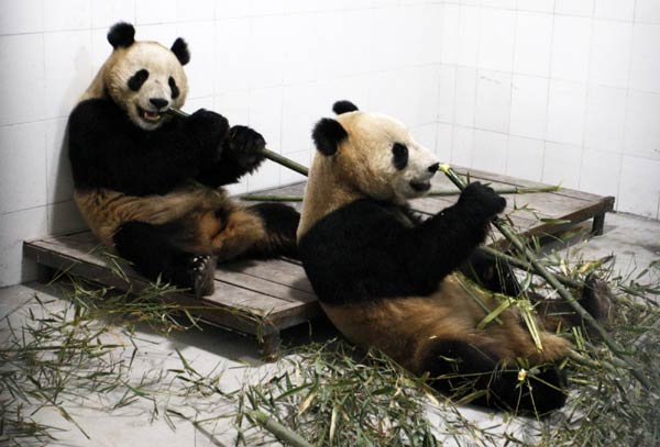 Giant Pandas Find New Home