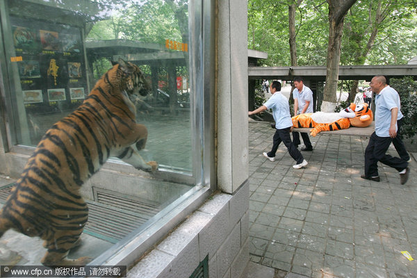 how to carry a tiger
