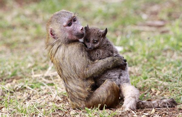 Baboon adopts Galago