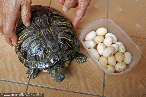 tortoise lays 17 eggs in an hour odd chinadaily   cn
