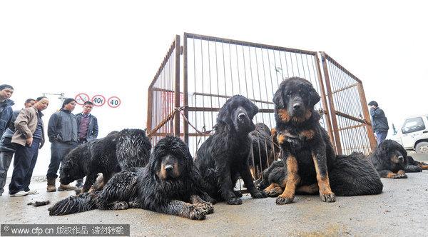 Street Sale Of Dozens Of Tibetan Mastiffs China Chinadaily