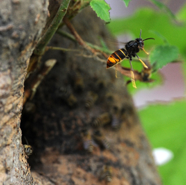The war between wild bees and wasps|China|chinadaily.com.cn