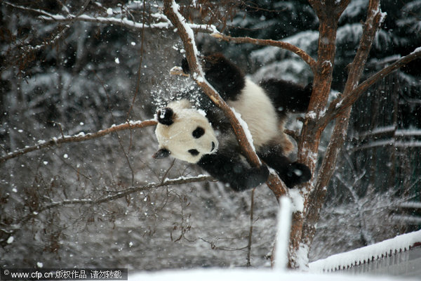 Kungfu panda in snow