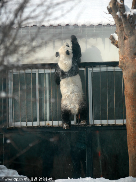 Kungfu panda in snow