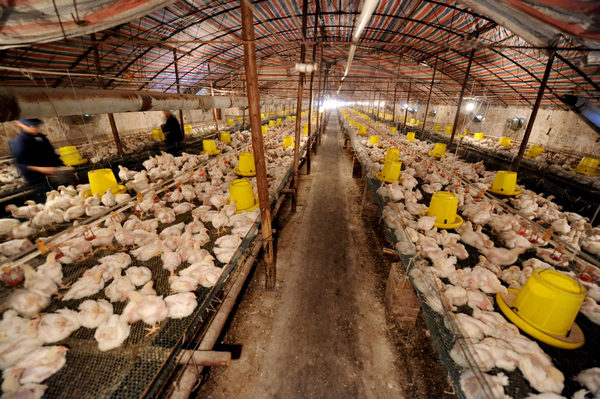Fast-food Supplier Cleared Of 'sick' Chickens[1