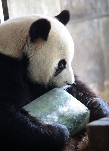 Panda chills out with cool meal