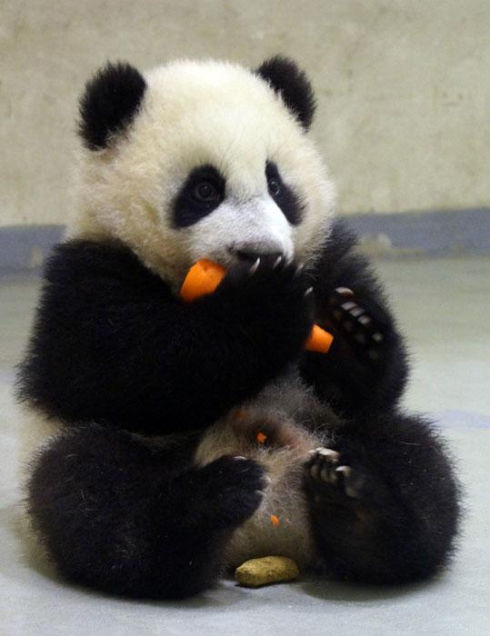 Baby Yuan Zai to meet public soon