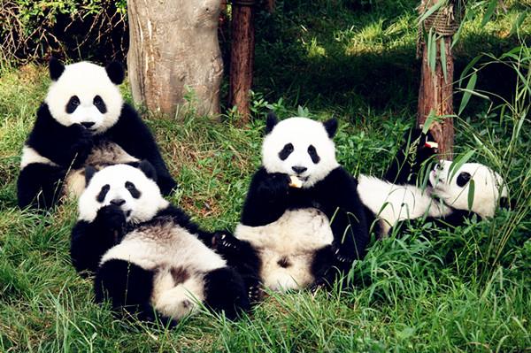 Rüyada Küçük Panda Yavrusu Görmek