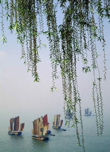 壁纸 垂柳 风景 柳树 摄影 树 桌面 362_500 竖版 竖屏 手机